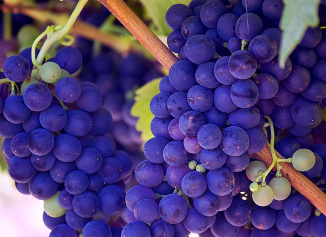 holidays to south africa, Constantia Valley grapes
