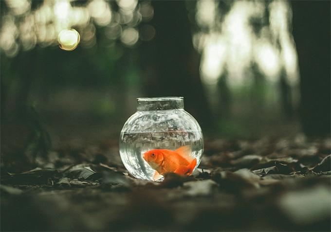 fish Pet