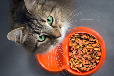 Adopted Cat food