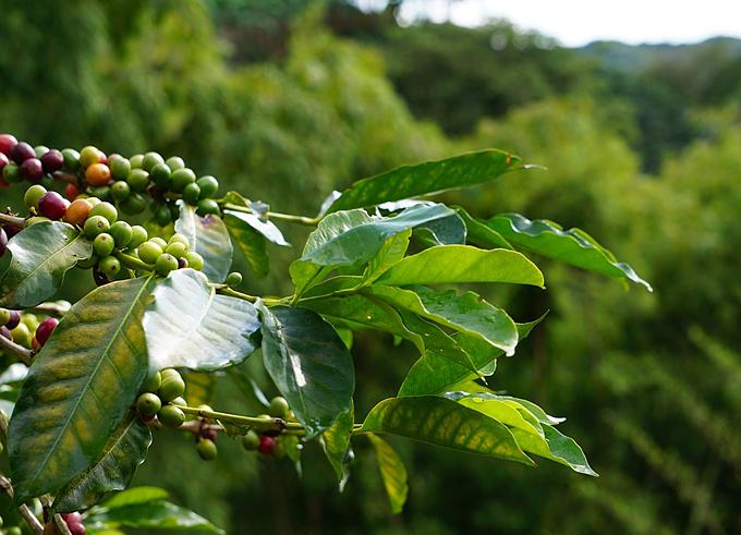 coffee producing
